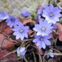 Frühlingsbote mit Charme